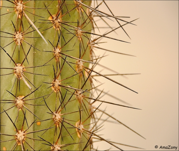 cactus,natuur,plant