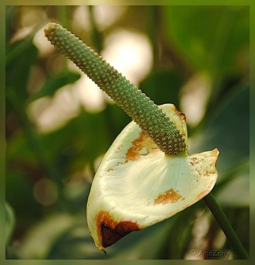 natuur,bloemen,aronskelk,groen