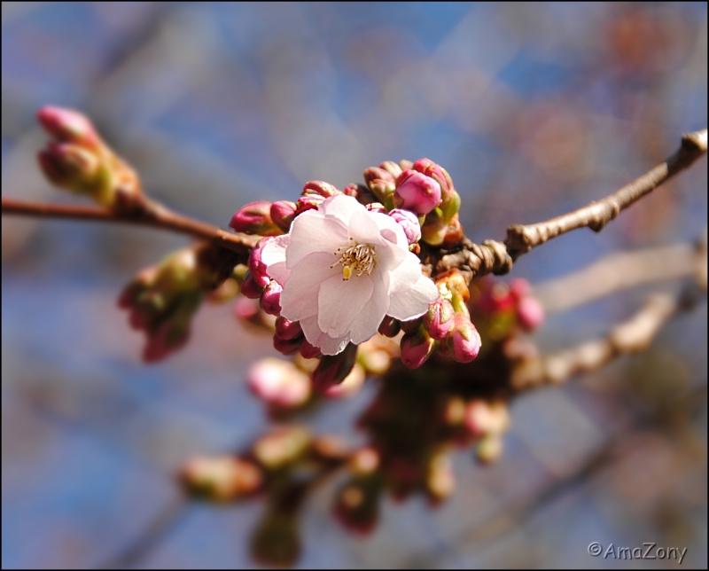 rosebloesem0784-af2-ama.jpg