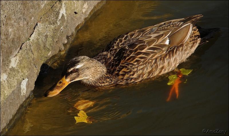natuur,dieren,eenden,wilde eend,verstoppertje spelen,Mechelen,Vrijbroekpark