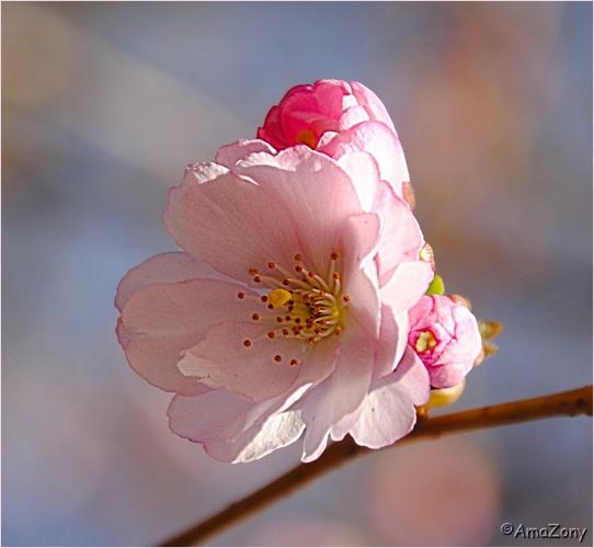 bloesem,roze,lente,lentebloesems