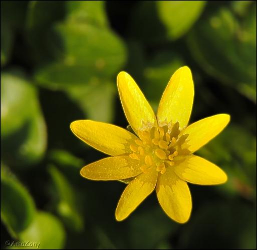 speenkruid,bloemen,natuur,gele bloemen