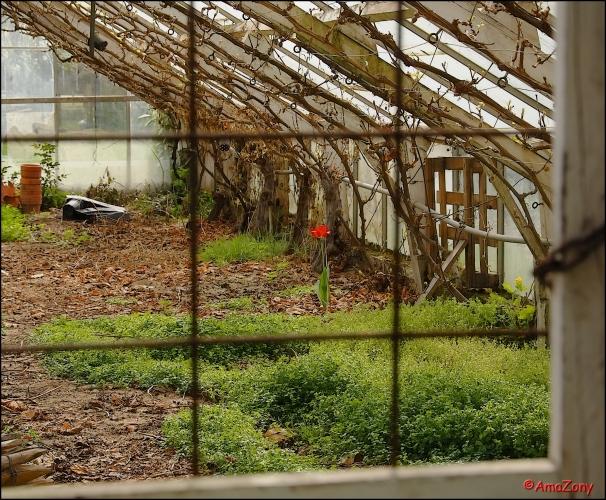 tulp,bloem,eenzaam,alleen,natuur,Tivoli,Mechelen,verdomd alleen,Ciske de rat,Danny De Munk