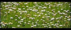 bloemen,madeliefje,plat,buik,fotografie