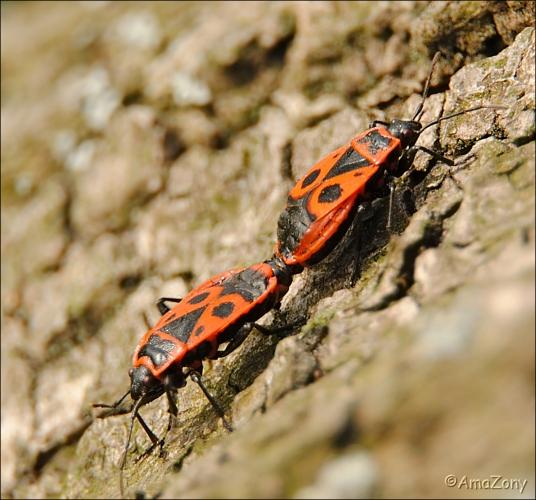 natuur,insekten,vrijen,2,langpootmug,bessenwants,vuurwants,indiaantje