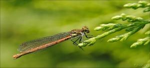 insekten,vuurjuffer,bij of wesp,struiksprinkhaan