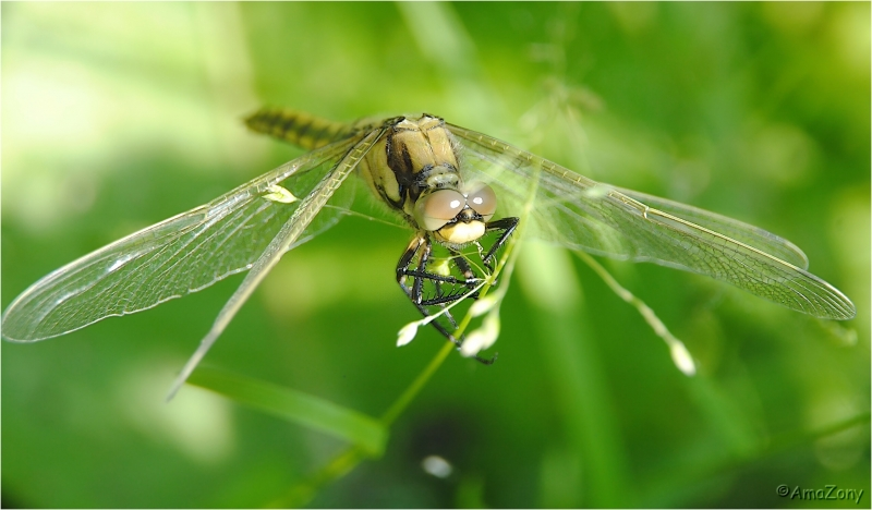 insekten,libel,gewone oeverlibel,fotografie,macro,tussenring