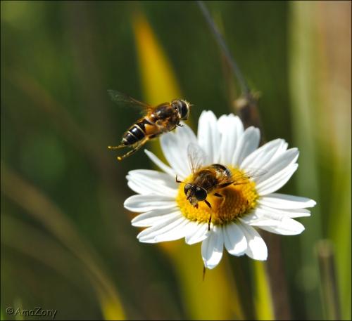 insekten,allemaal beestjes,vuurjuffer,bij of wesp,struiksprinkhaan