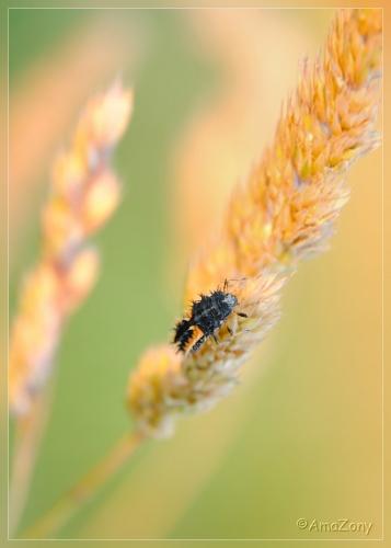 insekten,fotografie,tussenring,determinatie,kamille,bloemen,veelkleurig aziatisch lieveheersbeestje,larve,natuur