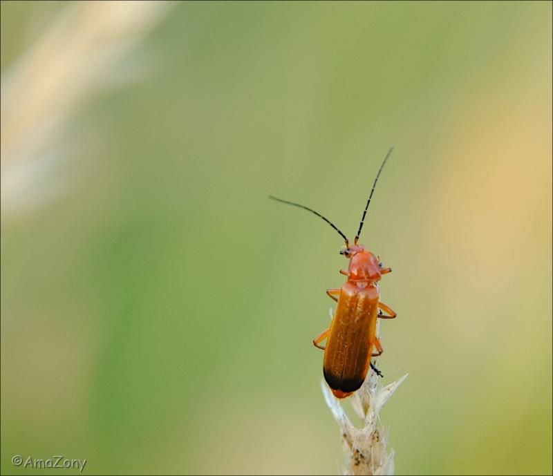 natuur,insekt,soldaatje,dans,fotografie