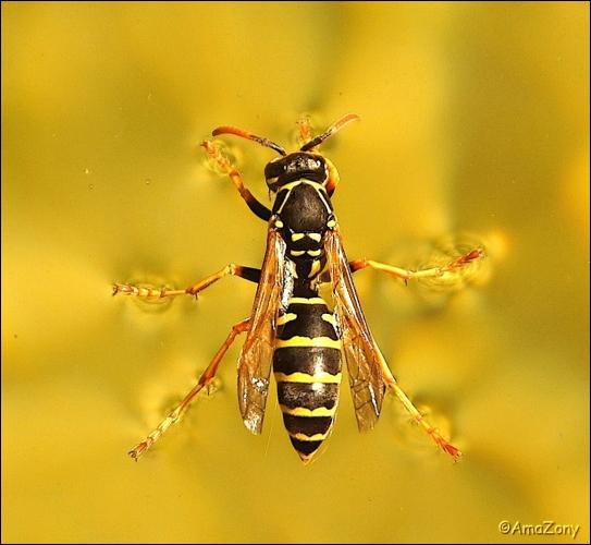 wesp,water,drijven,insekt,natuur,kroatie,fotografie