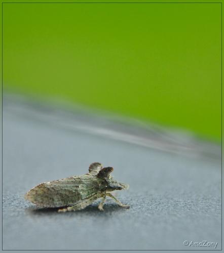 oorcicade,schorscicade,insekt,natuur,fotografie,muis,