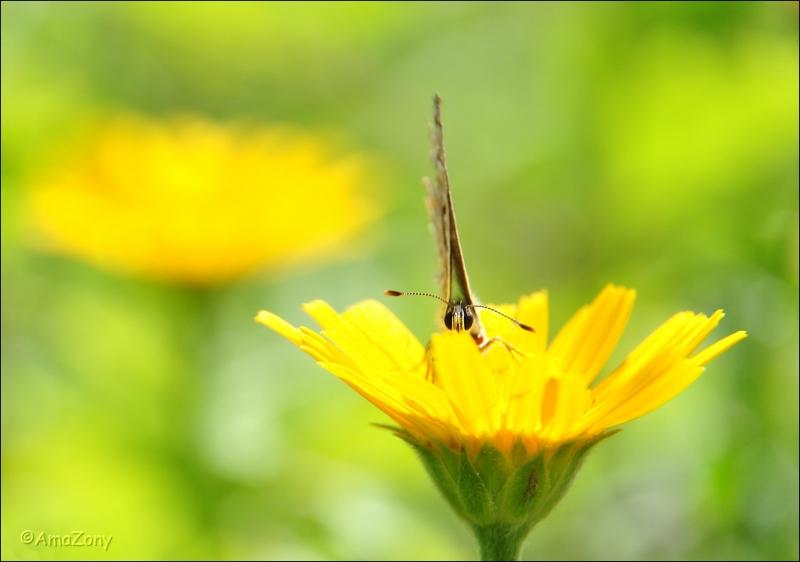 wesp,insekten,vlinder,gier,roofvogel,natuur,fotografie
