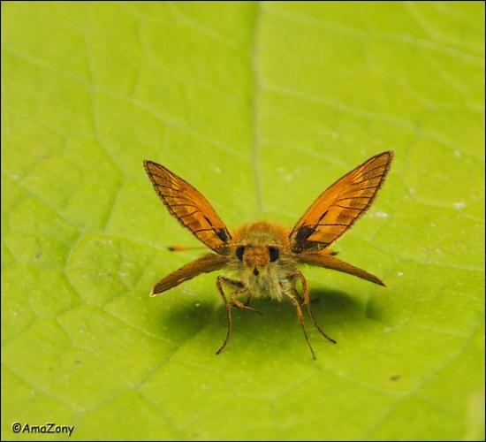 vlinder,insekten,natuur,groot dikkopje