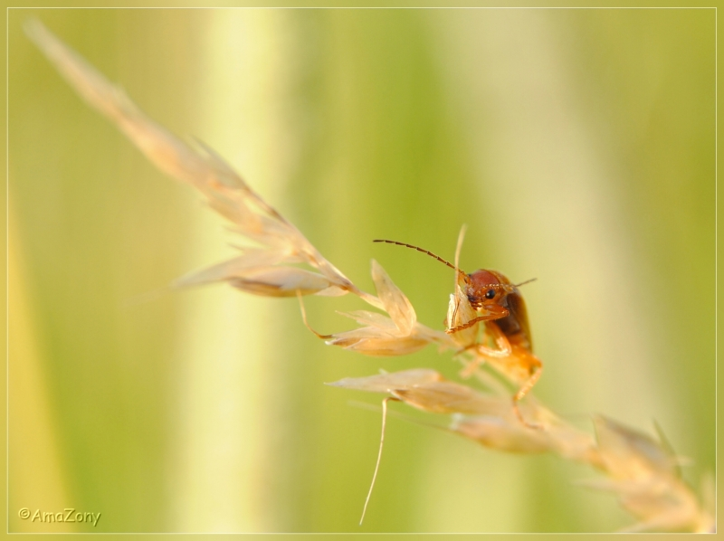 pajottenland,Gaasbeek,insekten,soldaatje,rode weekschildkever,natuur,