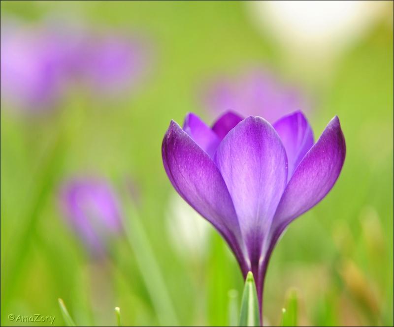 krokus,lente,seizoen,kus,zoen,winkel te Kortrijk