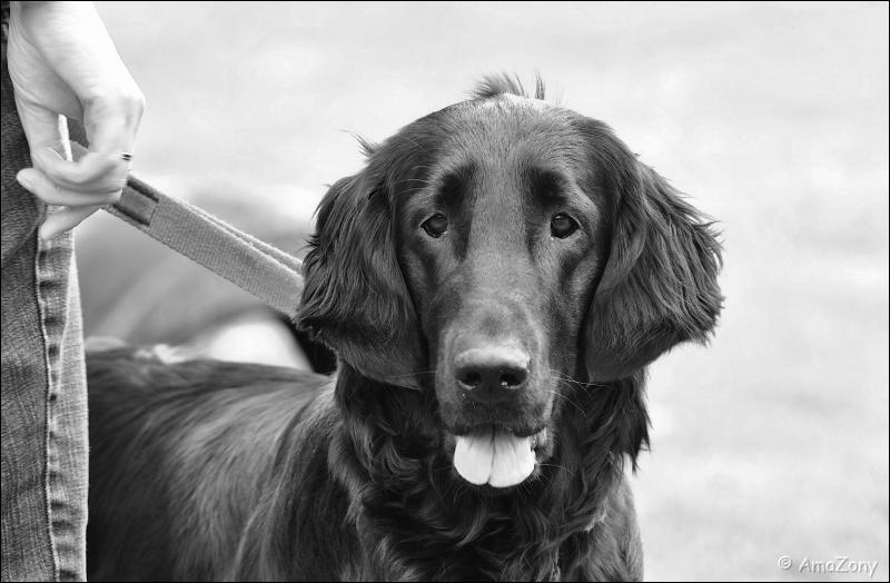 honden,kyon,boortmeerbeek,been,duitse herder,golden retriever