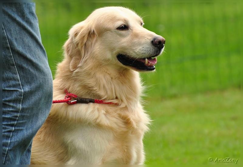 honden,Kyon,Boortmeerbeek,been,Duitse herder,Golden Retriever,