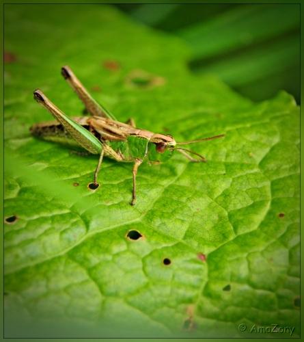 sprinkhaan,krasser,insekten,natuur