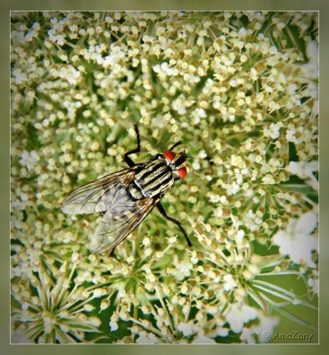 vlieg,dambordvlieg,insekten
