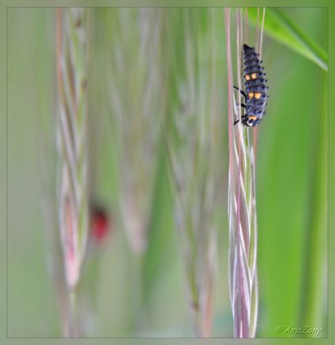 lieveheersbeestje,coccinelle,larve,paring,ladybug,natuur,lente,fotografie