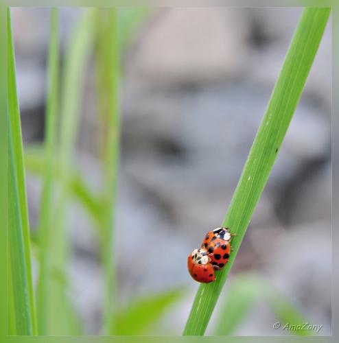 lieveheersbeestje,coccinelle,larve,paring,ladybug,natuur,lente,lieveheerbeestje,fotografie