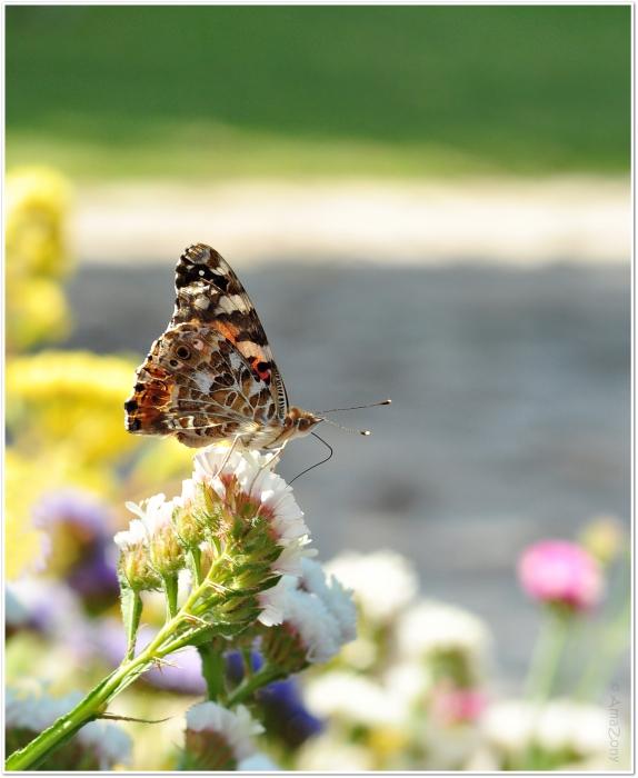 vlinder,Corfu,natuur,rob de nijs,zuster ursula,fotografie