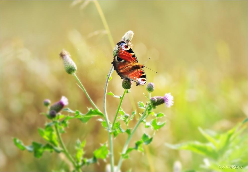 dagpauwoog,vlinder,natuur,rob de nijs,zuster ursula,fotografie