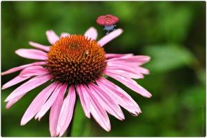 Vileplume,zonnehoed,echinacea,pokemon,bloem,fotografie