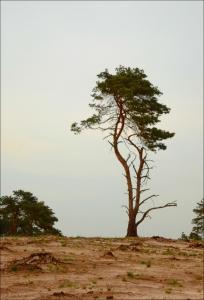 hanging tree,Jennifer Lawrence,the hunger games,Mockingjay,fotografie,bomen,kalmthoutse heide,muziek,film