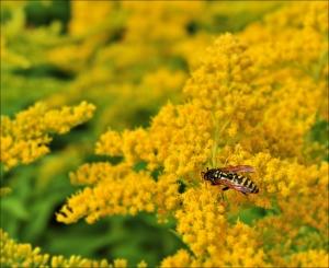 geel,bij,wesp,bloem,natuur,fotografie,macro