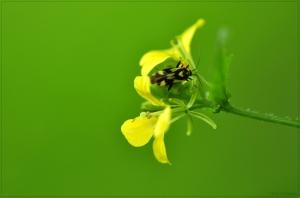 brandnetelwants,wants,kever,insekt,natuur,fotografie,macro,tuin