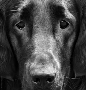 hond,hondenschool,retriever,border collie,kameraad,duitse herder,chinees nieuwjaar,jaar van de hond,kyon